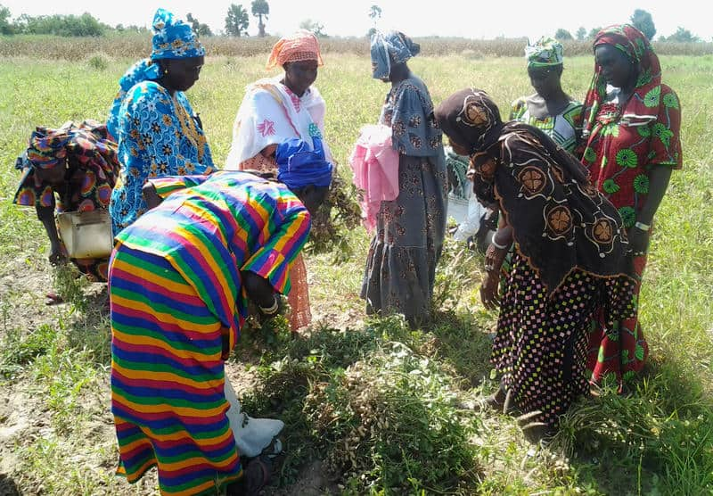 Groundnut producers from the Fatick region (Senegal) visiting demonstration plots of new varieties Photo: Hodo-Abalo Tossim
