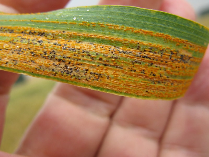 A wheat leaf infected with yellow rust, also known as stripe rust. Photo: Thomas Lumpkin/CIMMYT