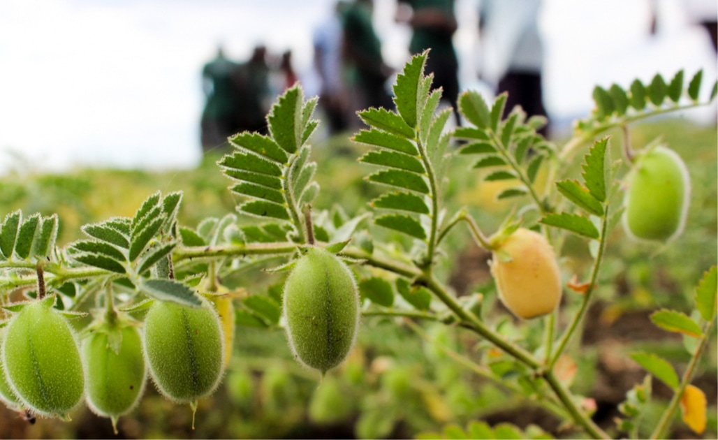 A chickpea crop in fruit at a demonstration field in Phalombe district. (ICRISAT)