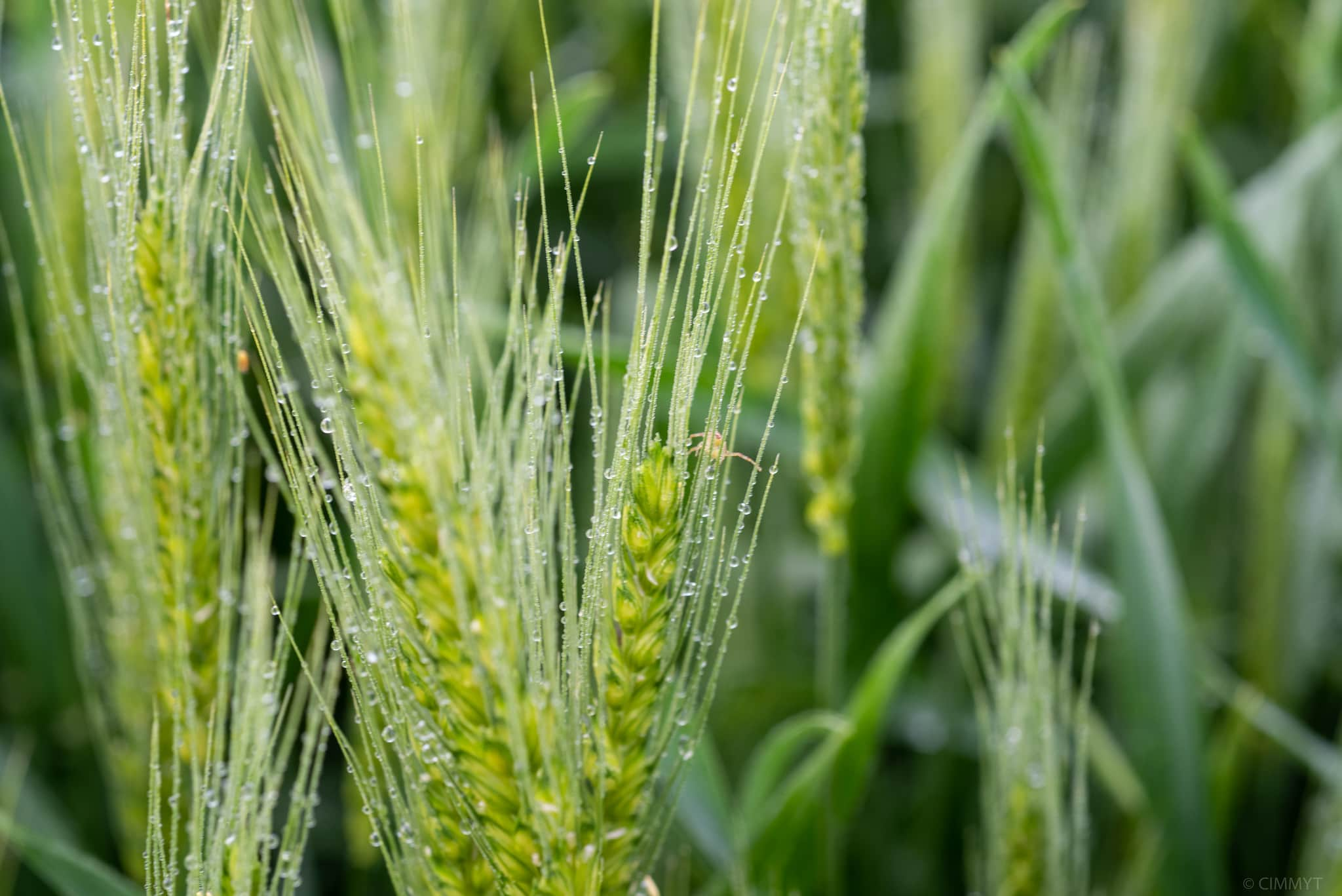 Green wheat spikes with morning dew