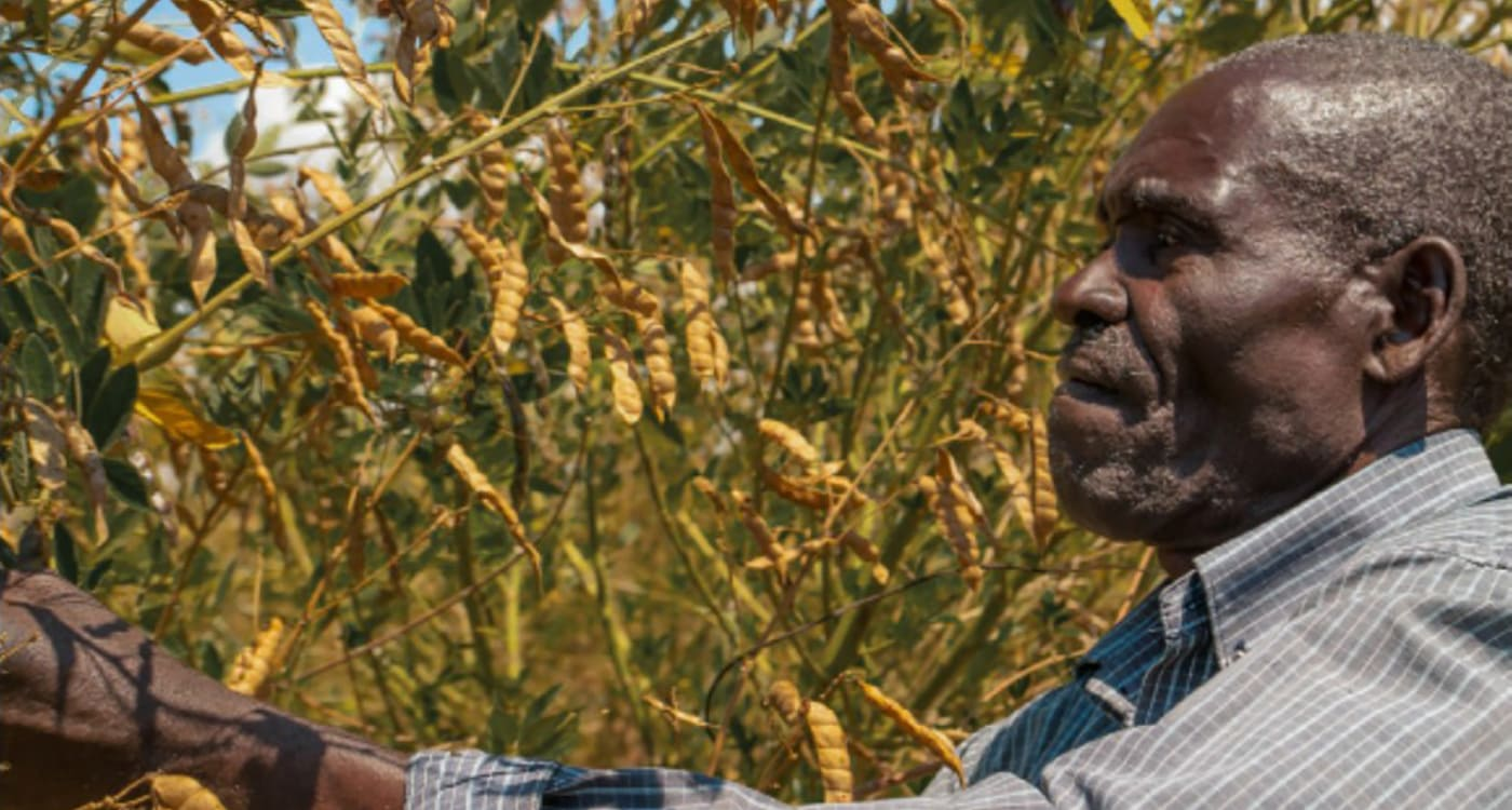Peter Mwangofi tending his pigeonpea crop. Photo: ICRISAT, Malawi