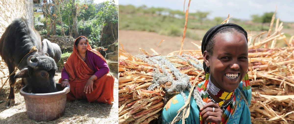 From India to Ethiopia, crop residues - the 'leftovers' after crops have been harvested - have long been valued by farmers as feed for their livestock. (Left) Photo S. Macmillan/ILRI (right) A. Habtamu/ILRI