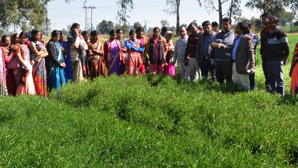 Farmers visiting ICARDA platform FLRP, Amlaha, Grasspea plot under scaling.
