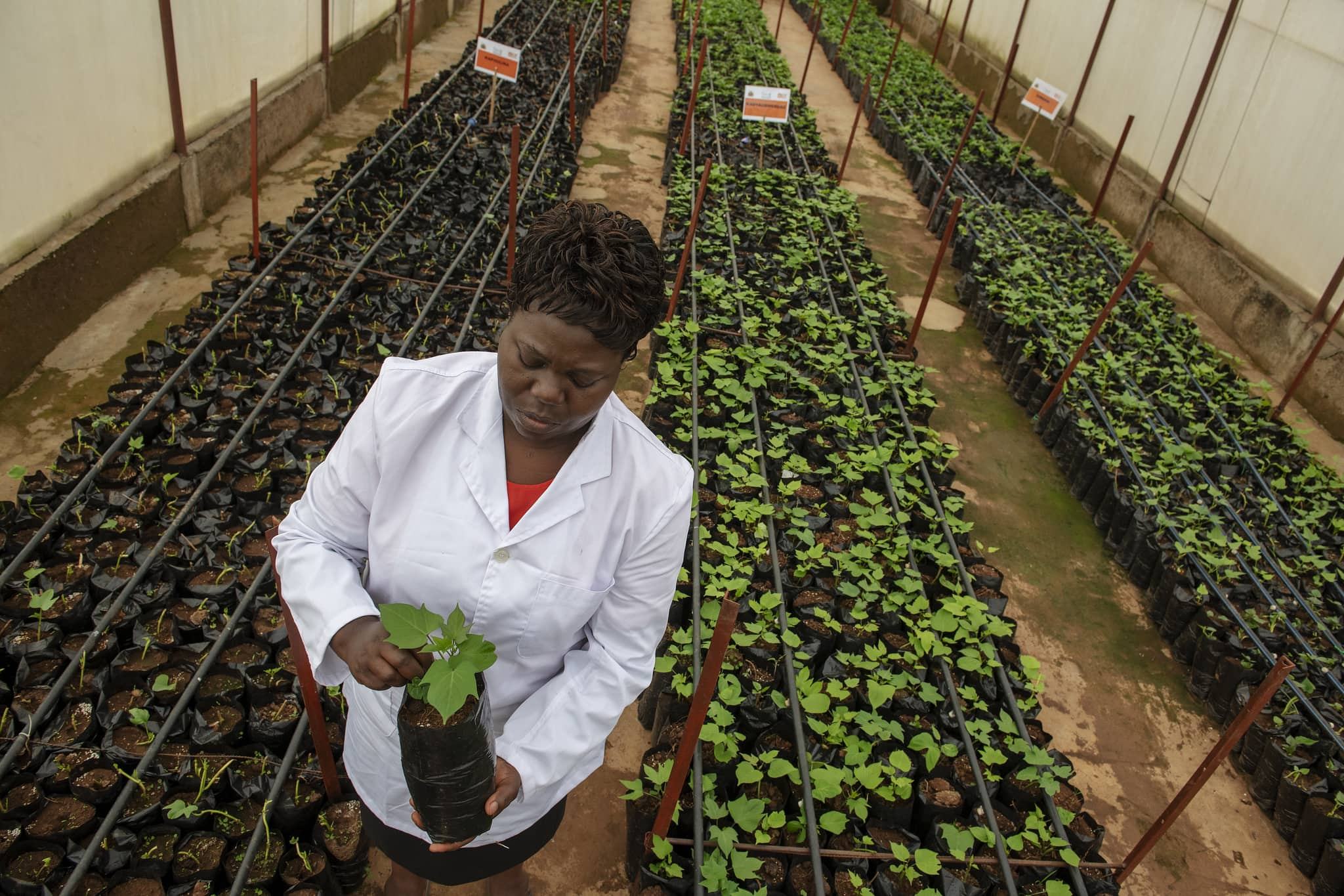 OFSP breeder at CIP facility in Malawi