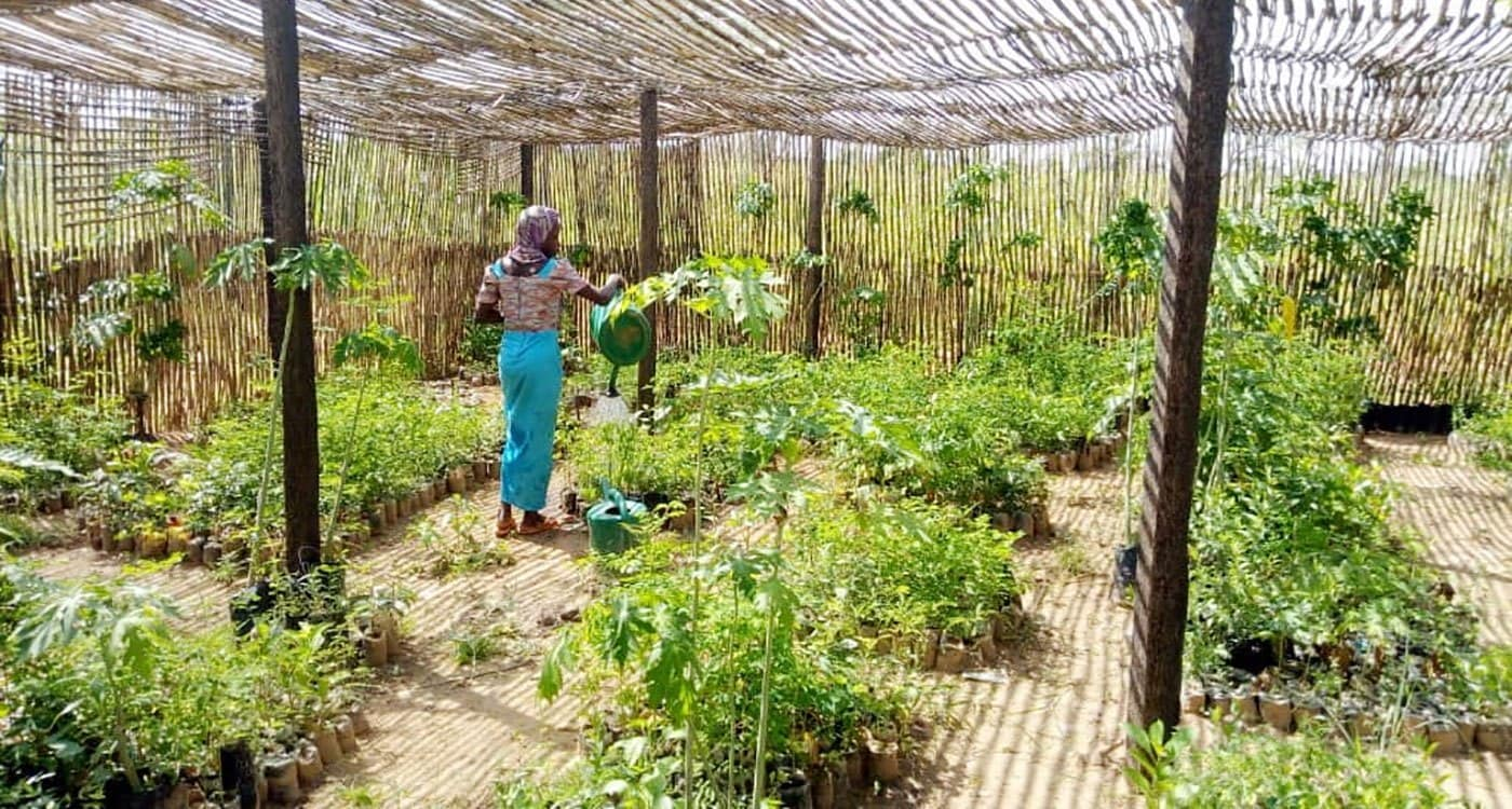 Fruit tree nursery in the commune of Bande, Zinder, Niger. Photo: B Traore, ICRISAT