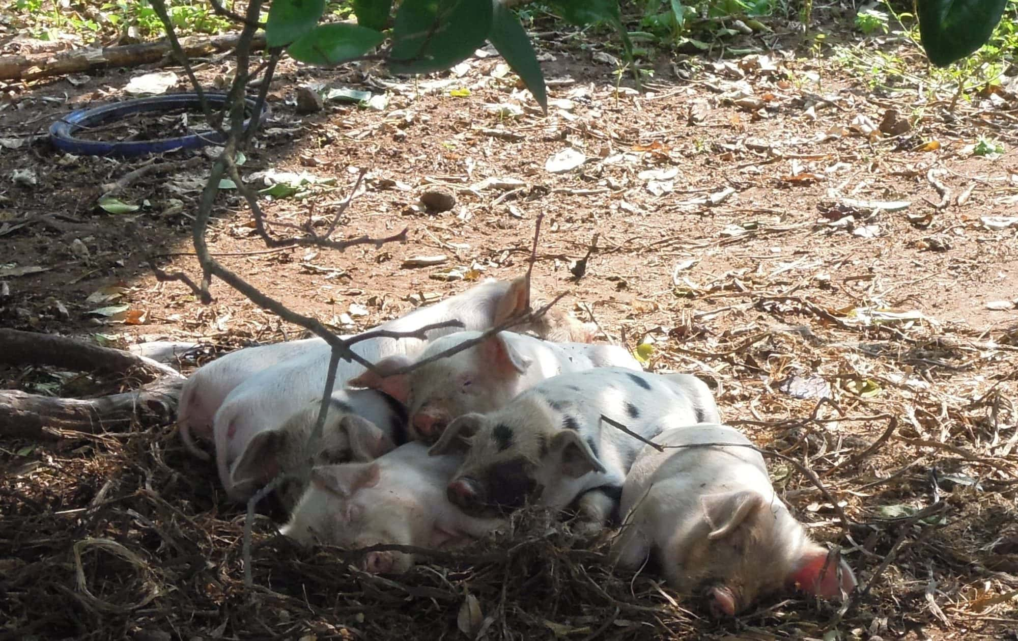 Free ranging smallholder piglets in Kamuli district, Uganda (photo credit: ILRI/Eliza Smith).