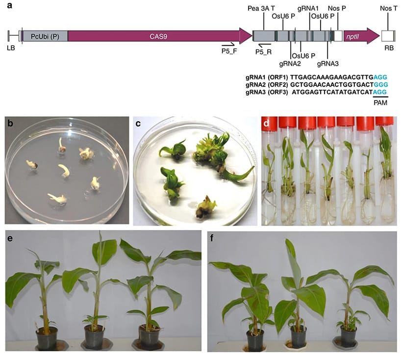 Regeneration of genome-edited events by delivering CRISPR/Cas9 construct through Agrobacterium-mediated transformation of cell suspension of Gonja Manjaya. (fig. from the paper)