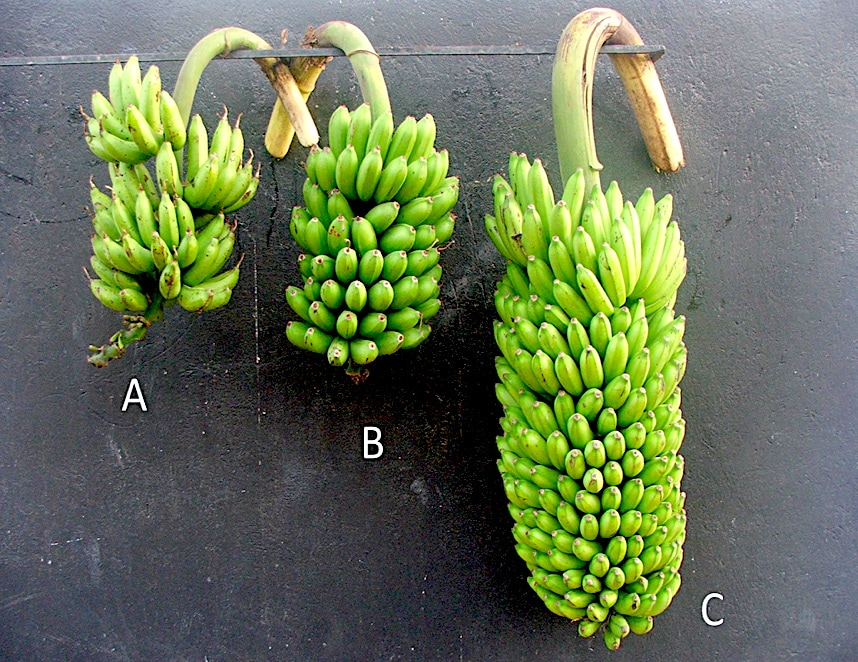 Progressive heterobeltiosis for bunch weight in bred 'Matooke' banana hybrids (NARITAs). A: 'Entukura' (3x female grandparent), B: '1438K-1' (4x female parent) and C: 'NARITA 17' (3x hybrid)