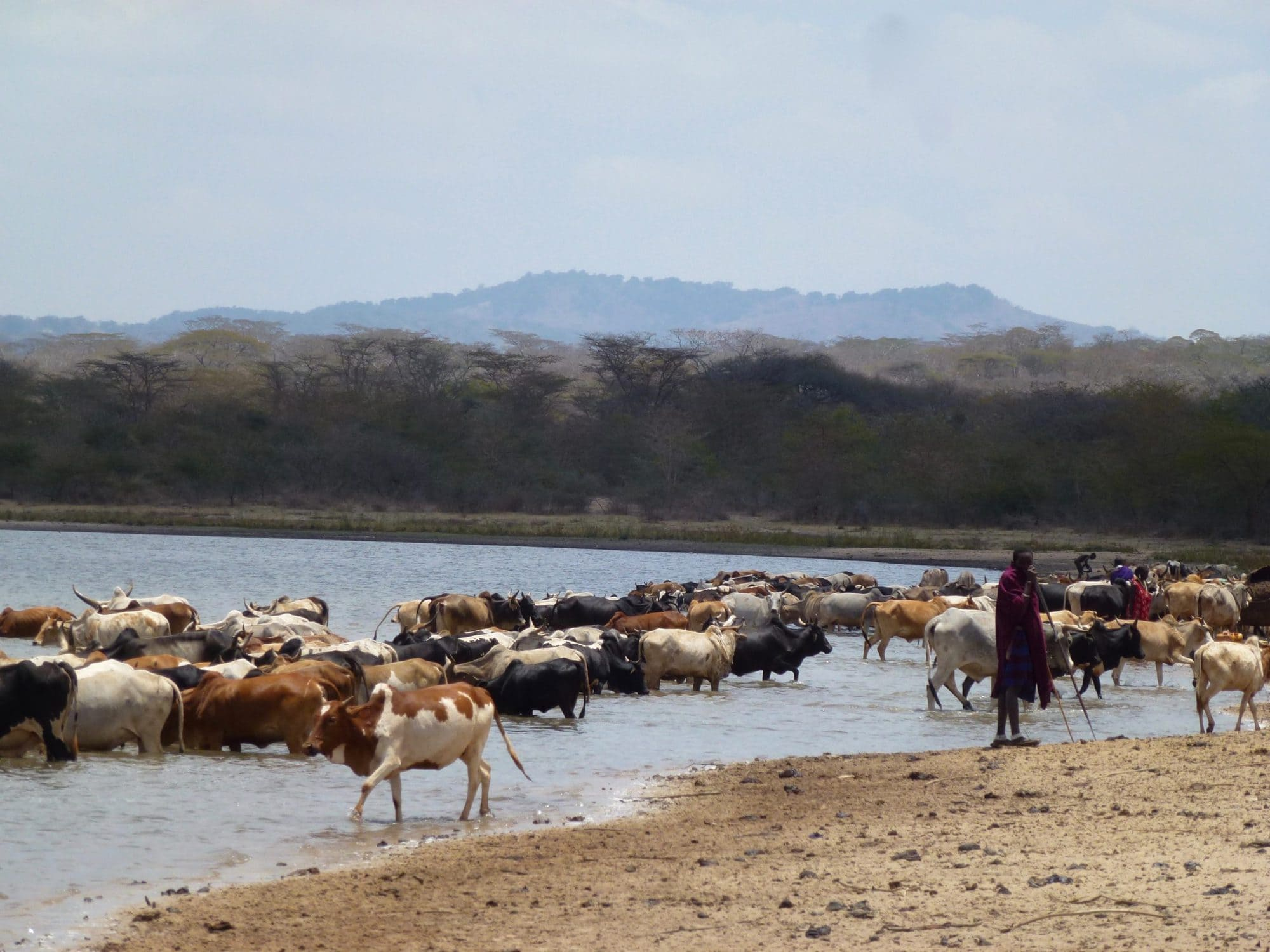 A Maasai pastoralist taking livestock to drink from the Olkitikiti Dam, in Olkitikiti village, Kiteto, Tanzania (photo credit: ILRI/Fiona Flintan)
