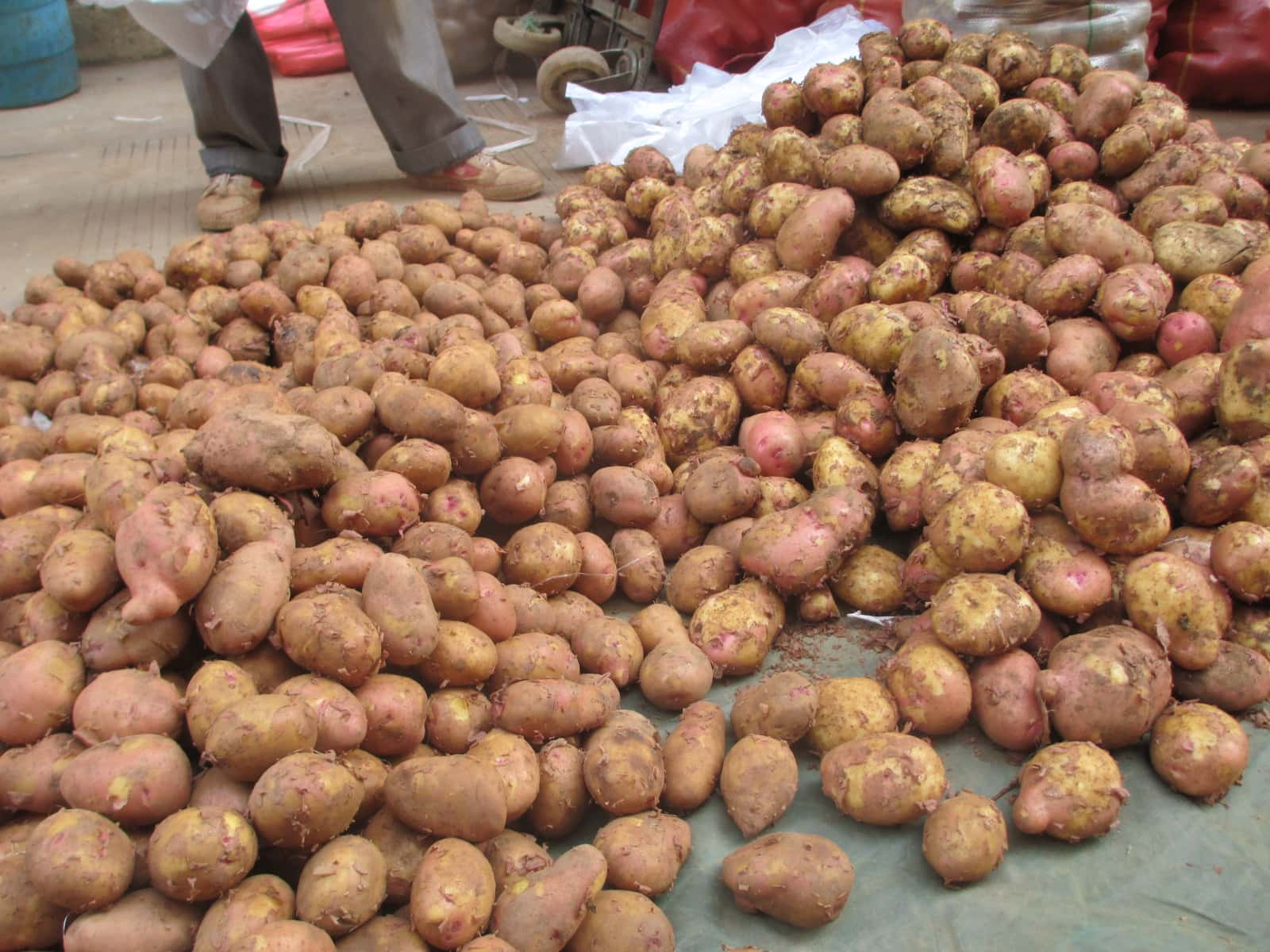 Improved potatoes for millions in Asia