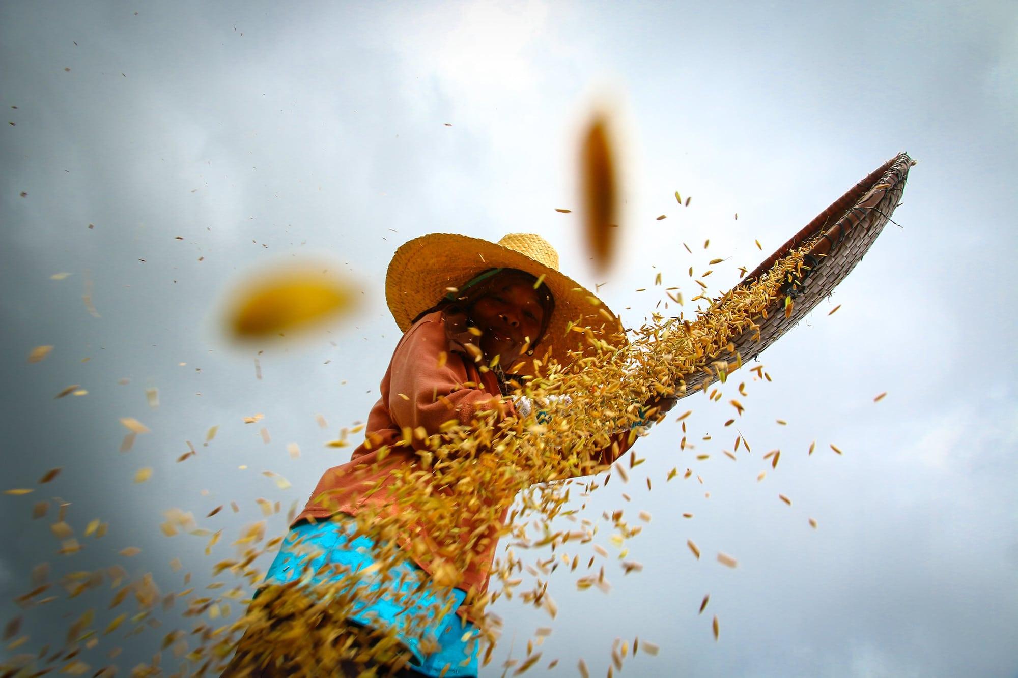 IR64: the world's 'mega' rice