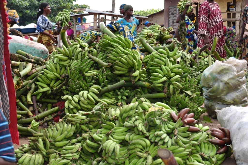 Hardier bananas and plantains