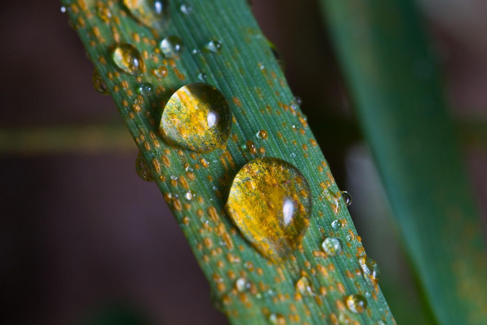 Rust resistant wheat