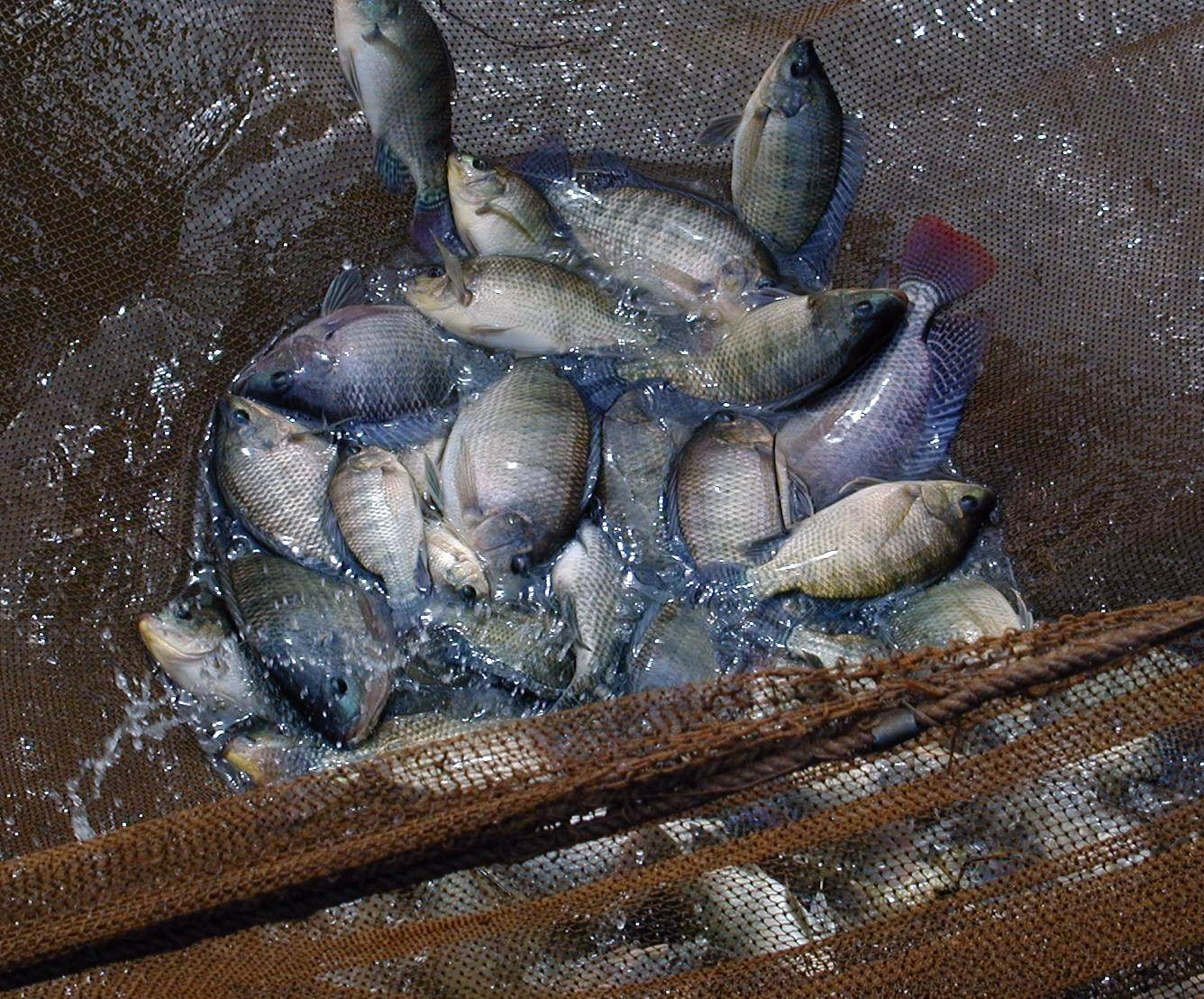 Genetically Improved Farmed Tilapia (GIFT)