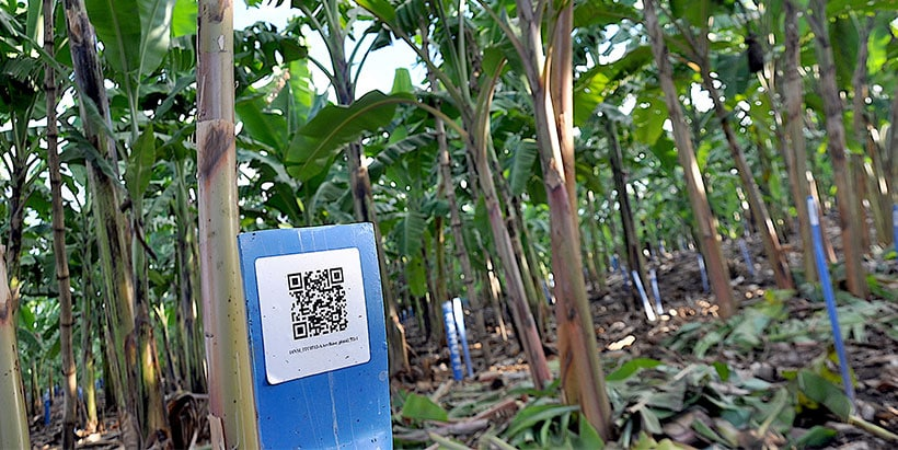Barcoded trees in a banana breeding field.