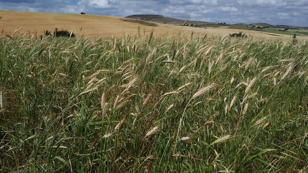 ICARDA Wheat Field