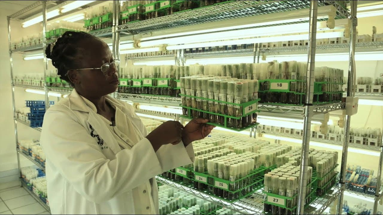 In vitro production of virus-free planting for international distribution at IITA