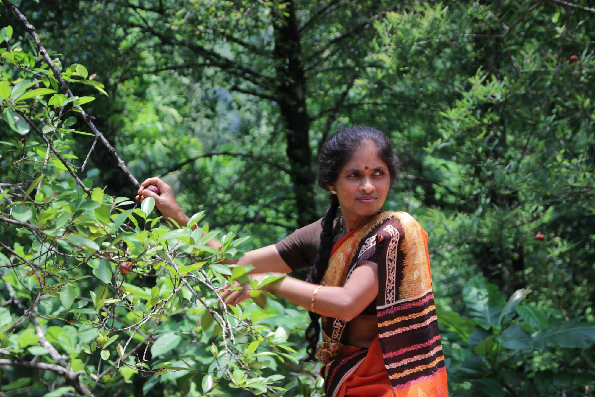 Picking garcinia indica from trees in the forest near local village of Western Ghats, India