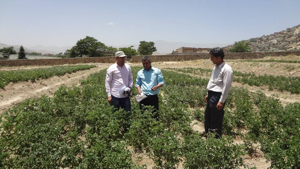 ARIA and ICARDA technical team supervising potato's evaluation trials in Qargha Research Farm, Kabul Afghanistan