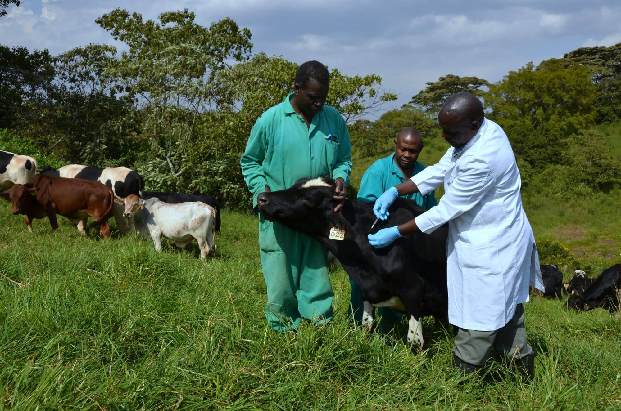 ILRI is working towards more effective livestock vaccines (photo credit: ILRI/Paul Karaimu)