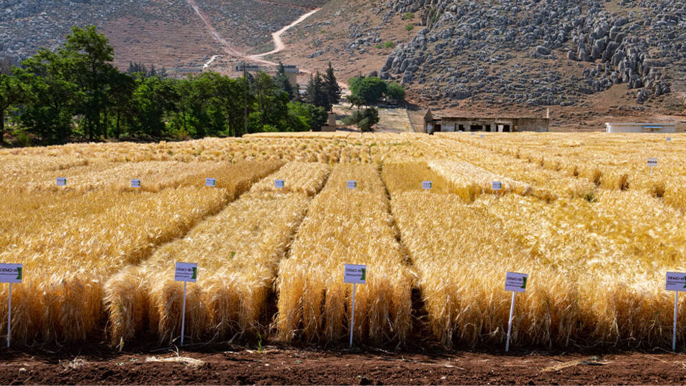 Wheat field at Terbol Station, Lebanon (Michael Major, Crop Trust)