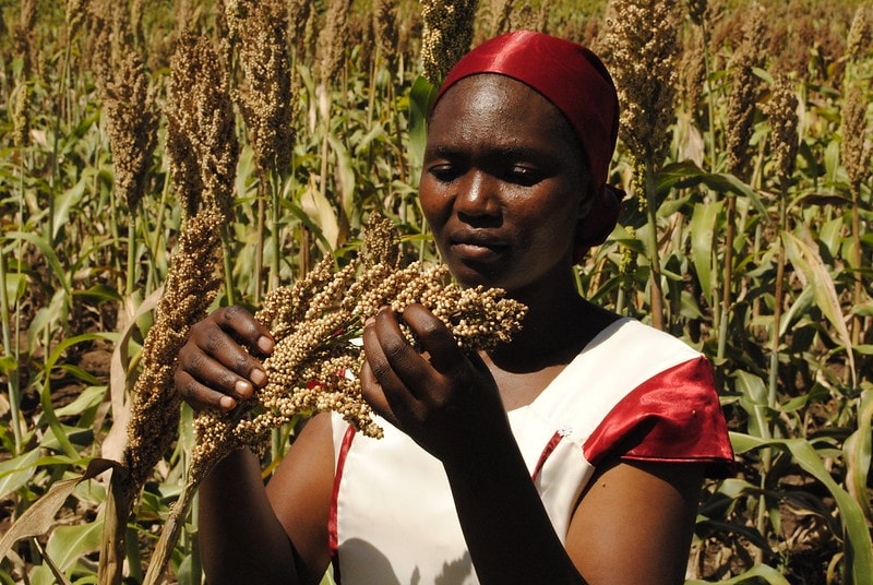 In Mali, ICRISAT will develop new crop varieties that meet the requirements of the population