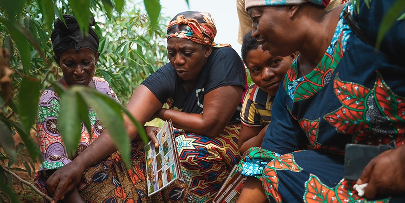 Farmer's evaluating the cassava stems and leaves.