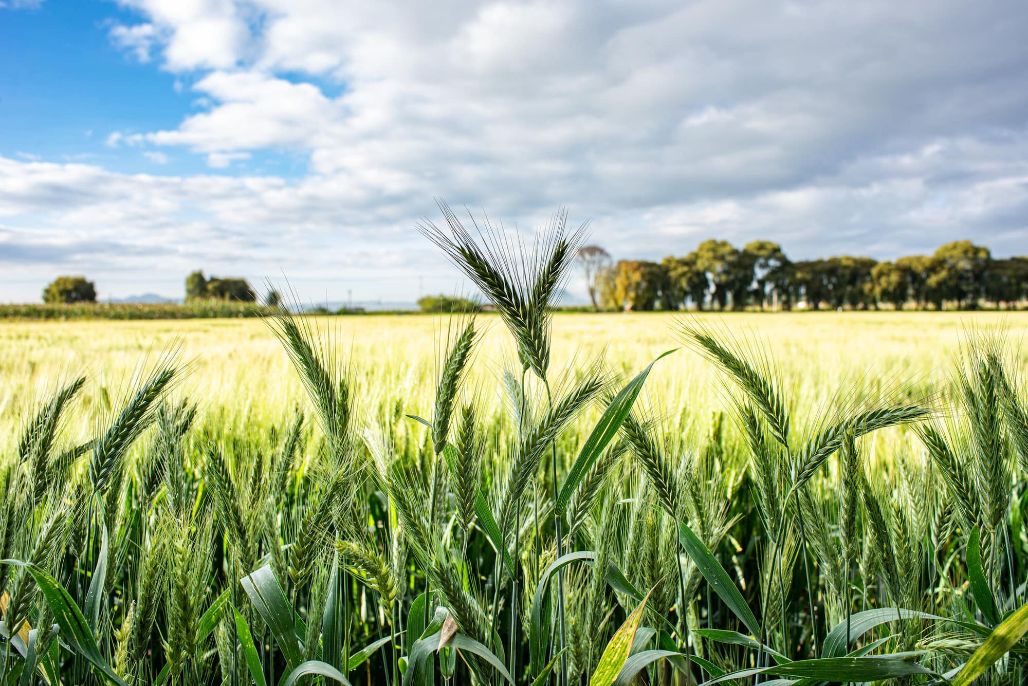 Accelerated Breeding: Meeting Farmers' Needs With Nutritious, Climate-Resilient Crops