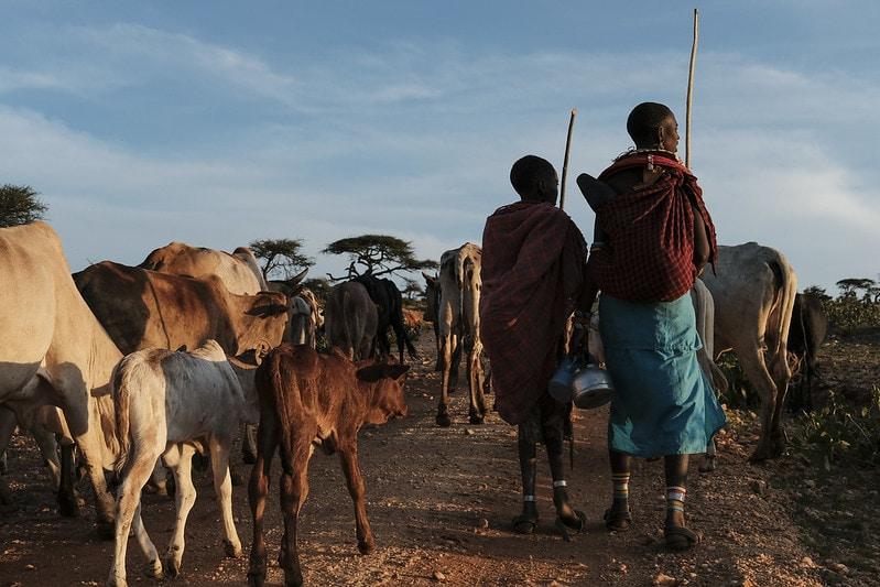 Herding livestock