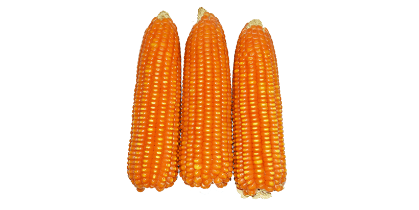 Africa produces several kinds of cereals, including maize, millet, rice, sorghum, and wheat.
