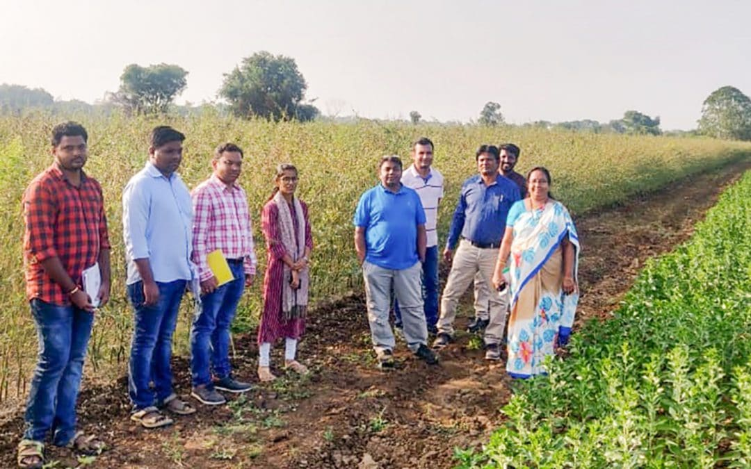 New high-yielding pigeonpea variety set for release in India, more to come (ICRISAT)