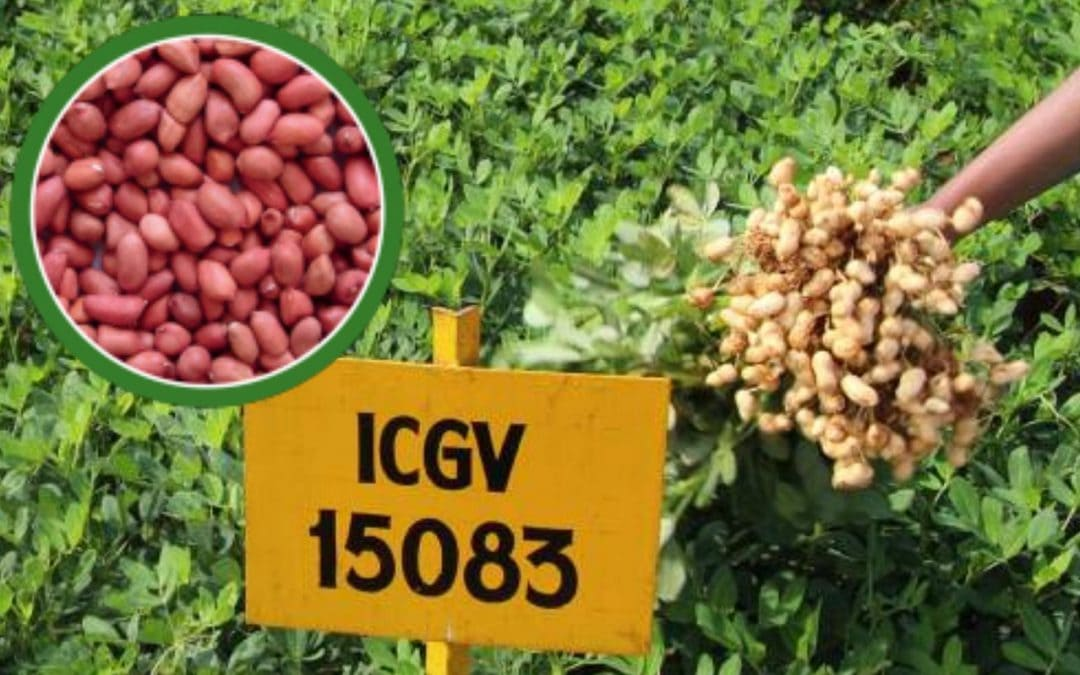 First high oleic groundnut cultivars commercialized in India