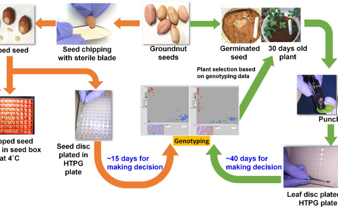 Featured image: Flowchart showing comparison of seed-based genotyping (orange arrows) and leaf-based genotyping (green arrow). Photo: ICRISAT