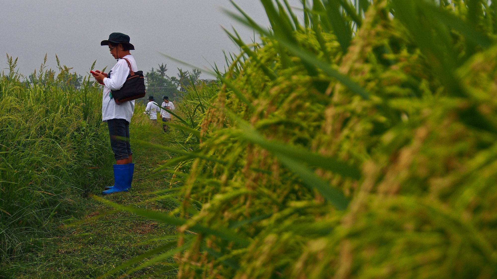 Satellite rice monitoring: the Philippine Rice Information System (PRiSM)