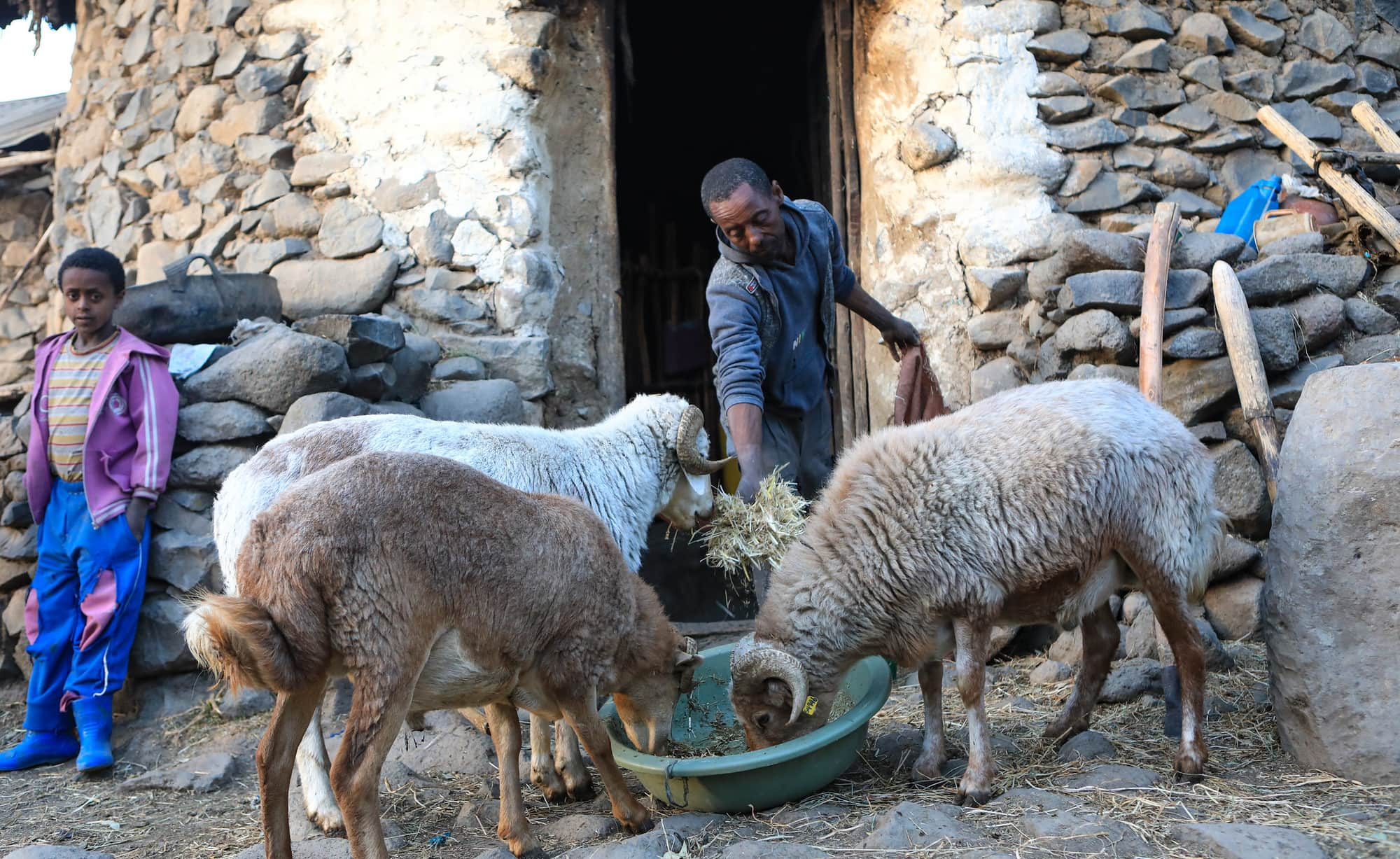 17 Sustainable Animal Productivity for Livelihoods, Nutrition and Gender Inclusion (SAPLING)