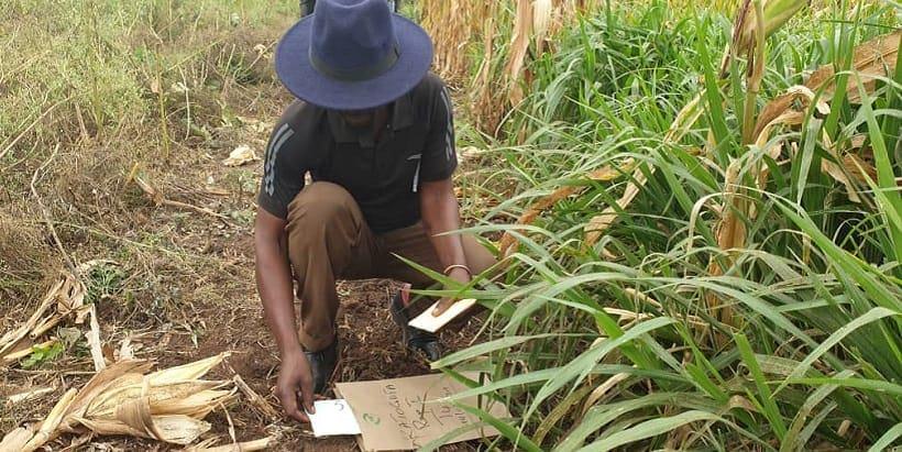 A farmer evaluating a maize and Brachiaria grass intercropped trial site in Katogota.