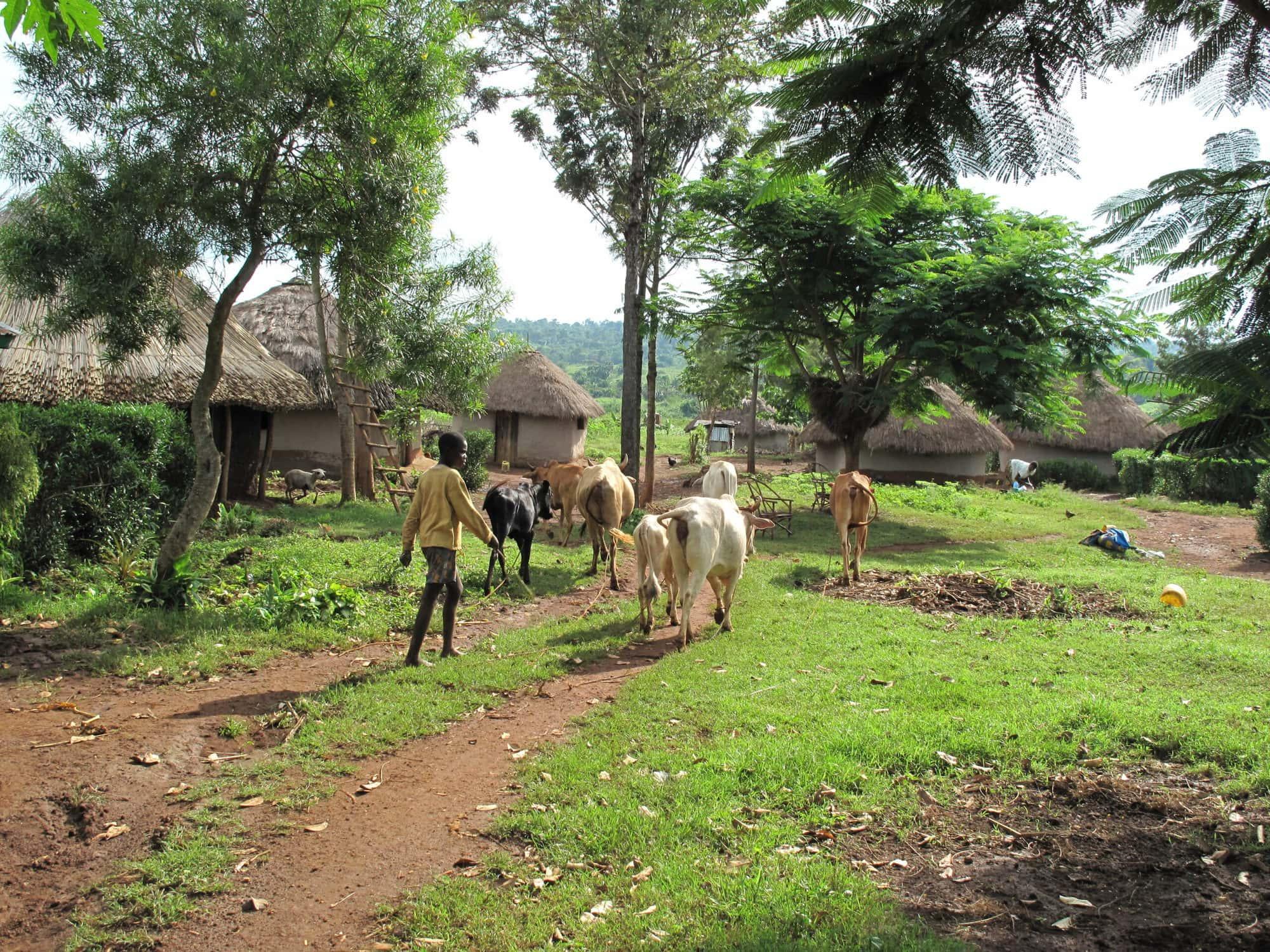 A typical mixed crop-livestock farming household, western Kenya (photo credit: ILRI/Charlie Pye-Smith)