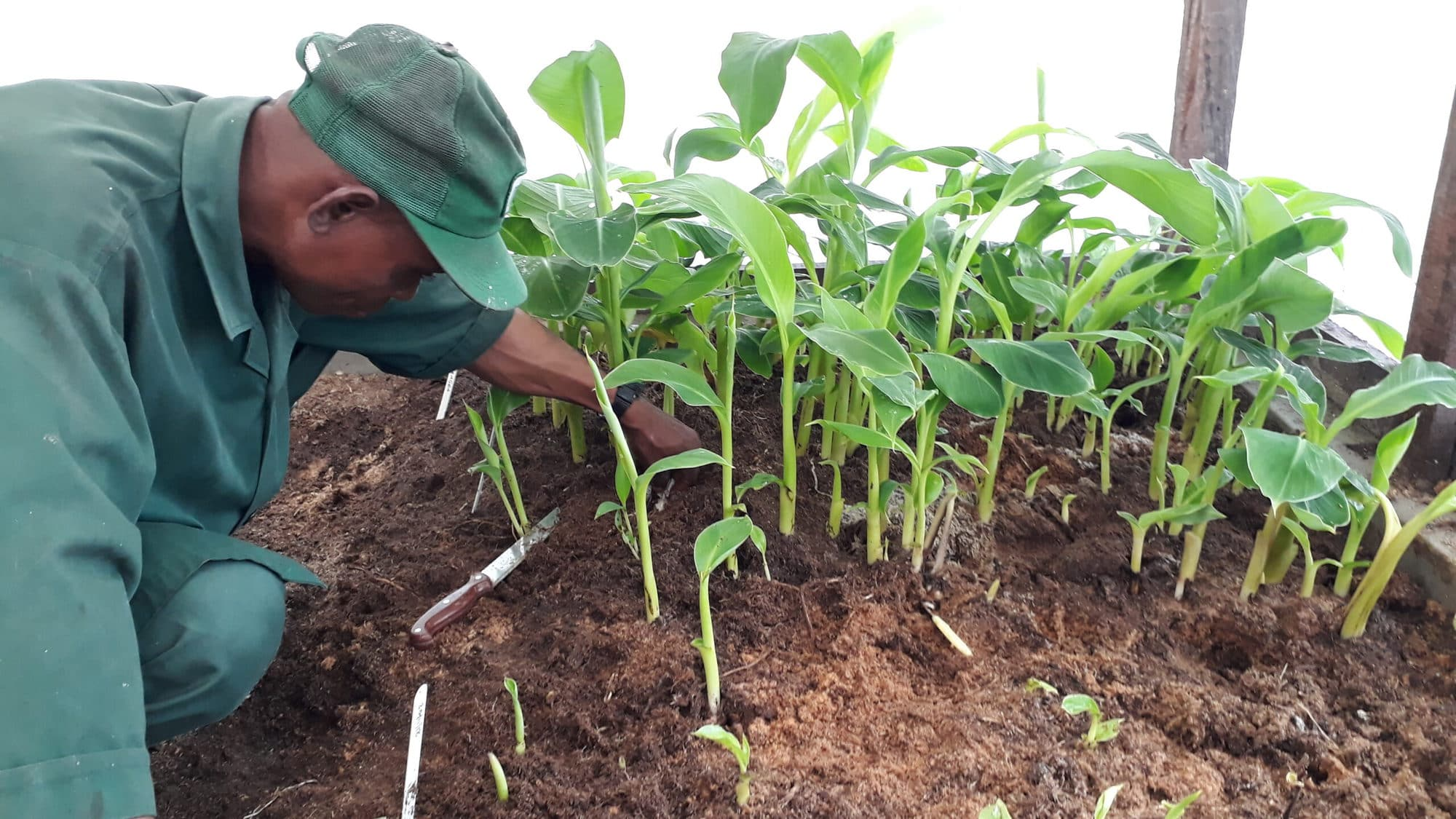 Healthy banana and plantain planting material for Africa