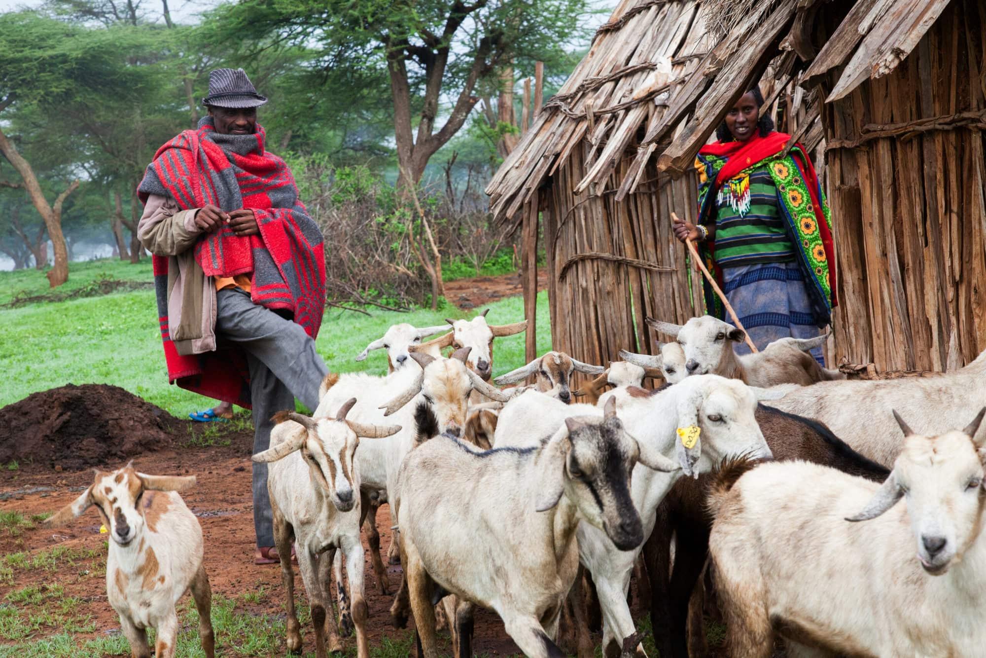 A family leads goats out for grazing in Borana, Ethiopia (photo credit: ILRI/Zerihun Sewunet)