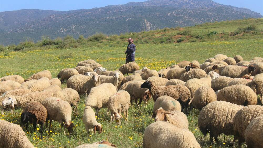 solution against gastrointestinal worms in sheep.