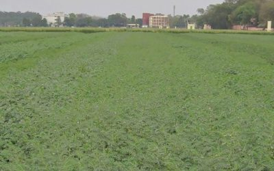 New climate-resilient, disease-resistant chickpea varieties coming farmers' way