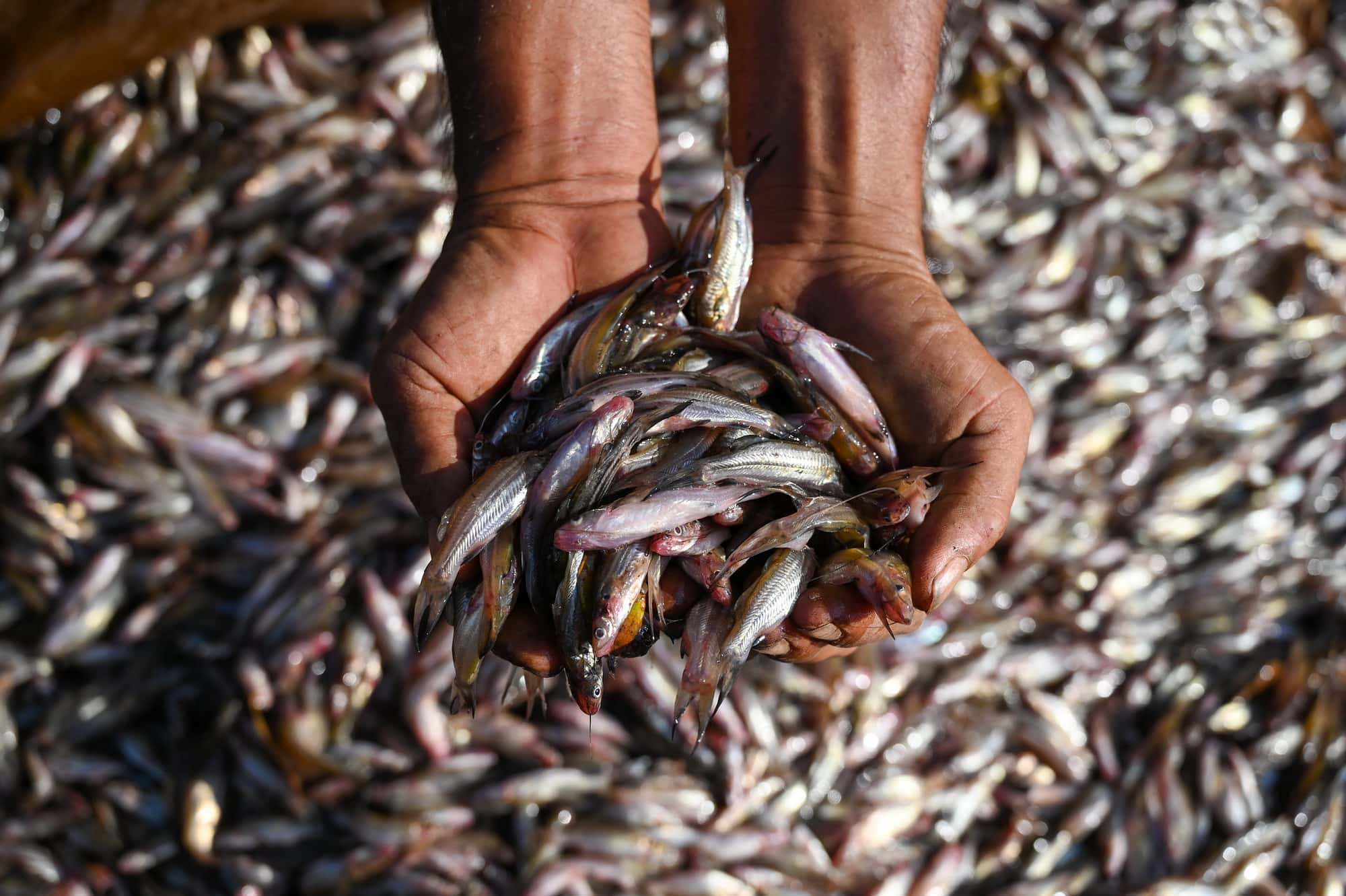 Aquatic foods are a major source of protein, micronutrients and essential fatty acids. Photo by Neil Palmer