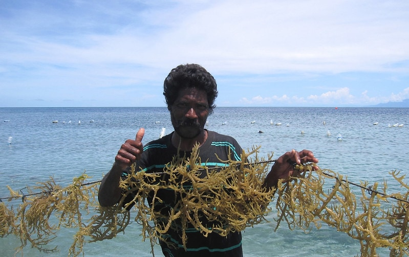 A farmer with seaweed in its culture site in Atauro Island, Timor-Leste. Photo by Jharendu Pant.