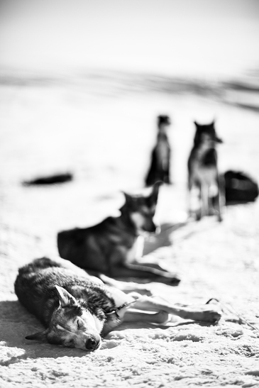 Sleeping huskies