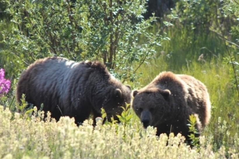 Two grizzlies enjoy some roadside plants near Kluane National Park.