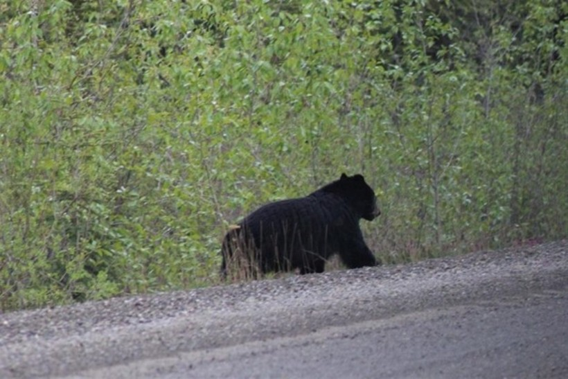 Black bear on the side of Robert Campbell Hwy