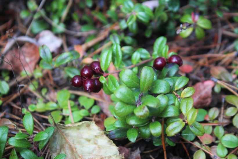 Ripe and ready cranberries on their low-lying bush