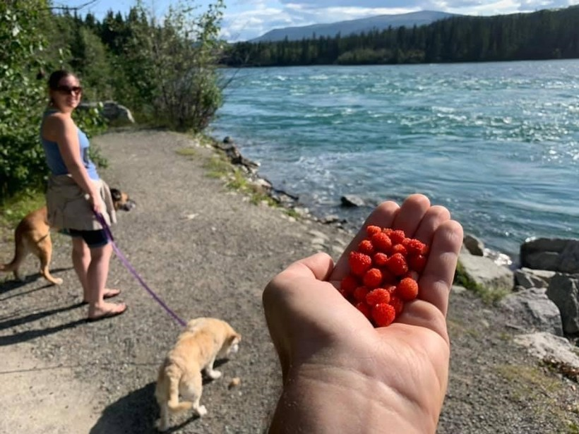 Some delicious strawberries along our walk with the dogs