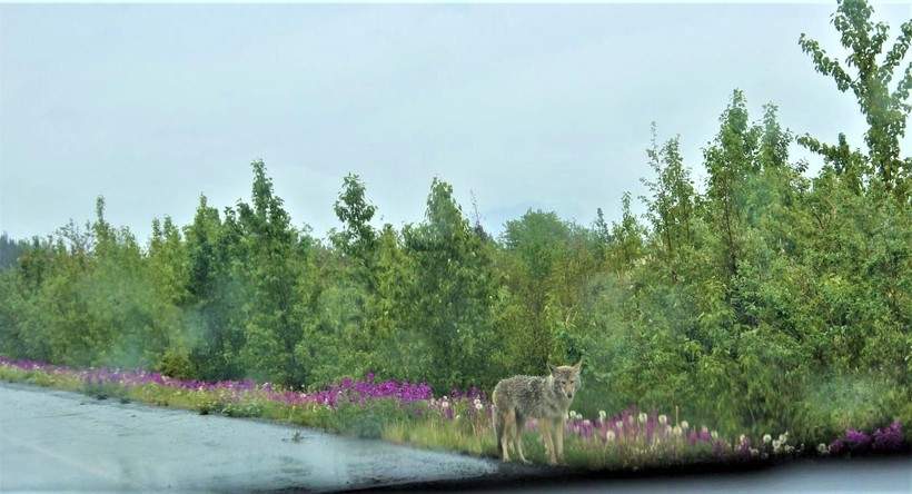 Roadside Coyote in the rain, with some beautiful wildflowers blooming behind
