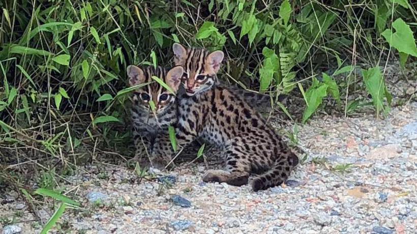 A rare Leopard Cat sighting!